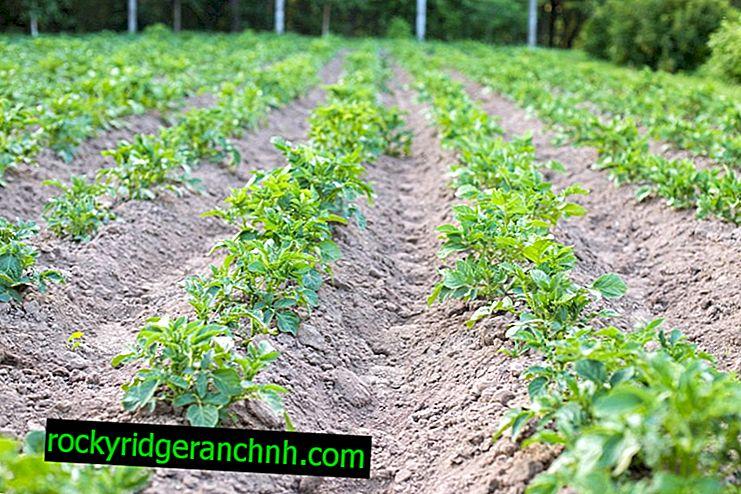 Regler for dyrking av poteter med en kultivator