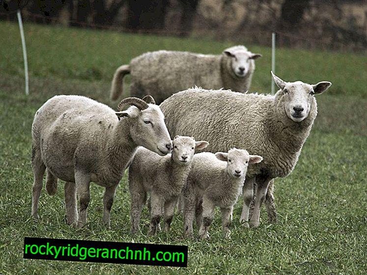 Příčiny Bradzota u ovcí