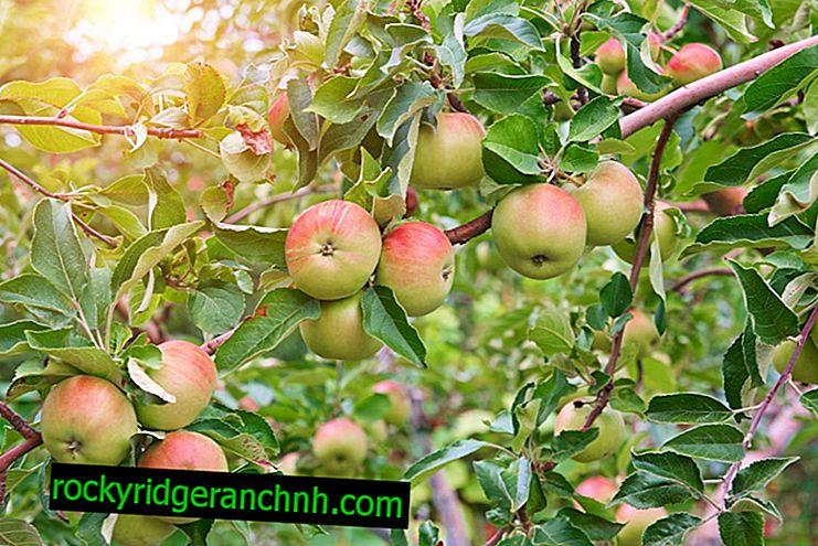 Variedade de macieira Airlie Geneva