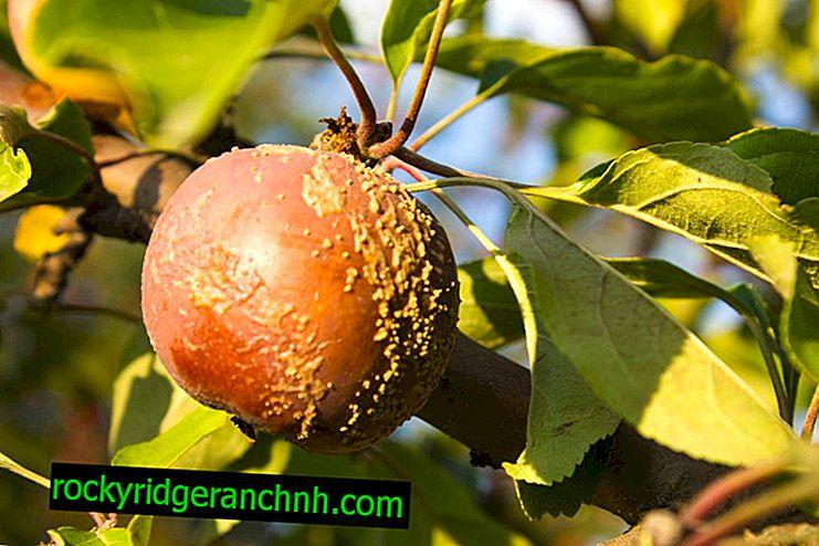 Elma ağaçlarının monilyozu ile nasıl baş edilir