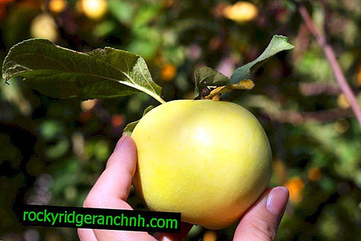 Sortsegenskaber ved æbletræet Rossiyanka