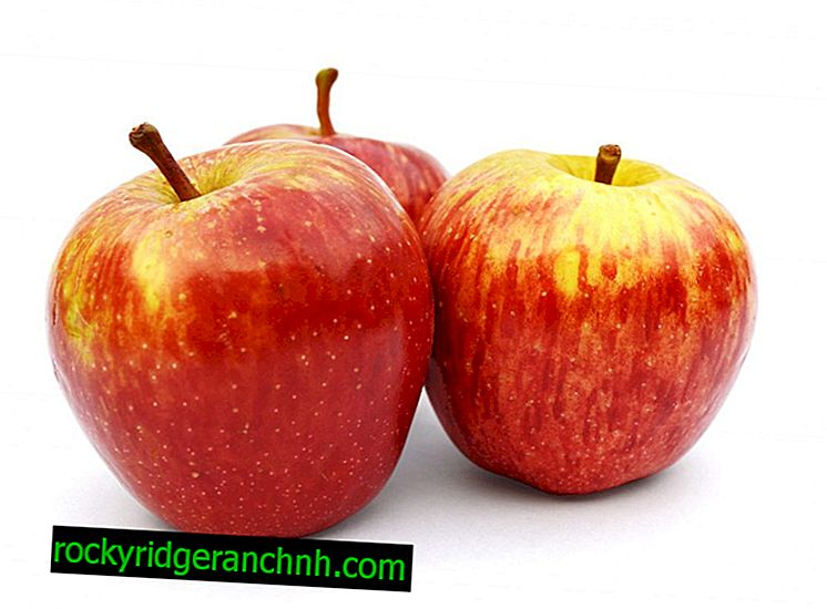 Raznolike karakteristike stabla jabuke Pinov