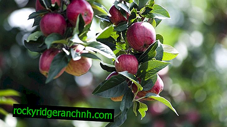 Características del cultivo de manzanos Antei