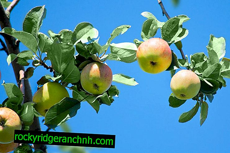 Zoete appelboom Medunitsa