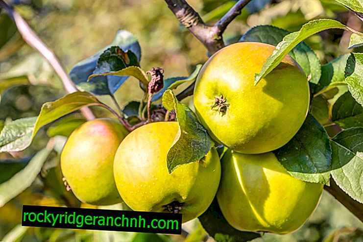Features of Bratchud apple tree