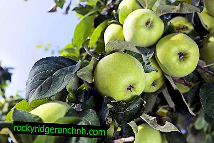 Сорт ябълково дърво Pennant