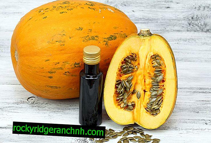 Growing gymnosperm pumpkin