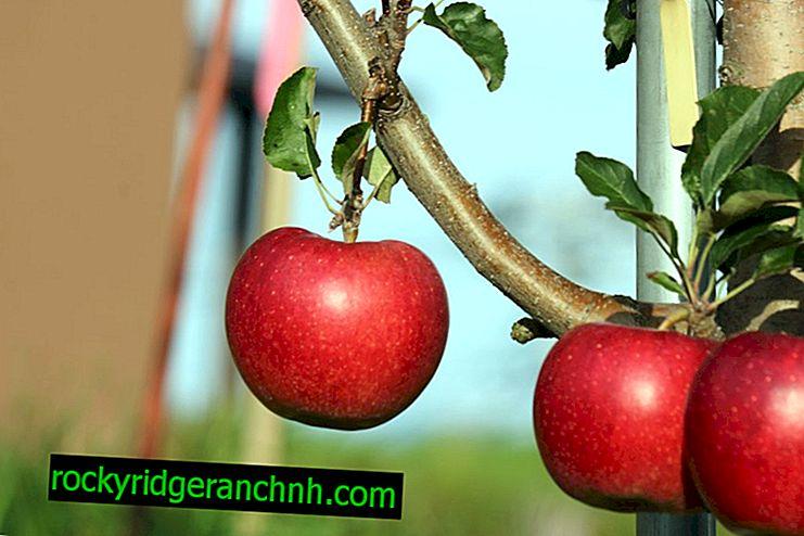 Описание на ябълковото дърво Starkrimson