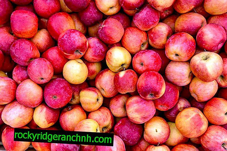 Сортова характеристика на ябълковото Сребърно копито