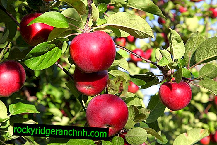 Apple cultivation Belarusian sweet