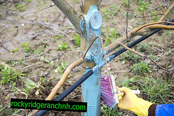 The technique of processing apple trees with copper sulfate