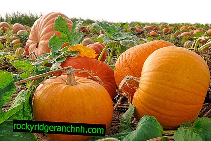 Pumpkin cultivation Atlas