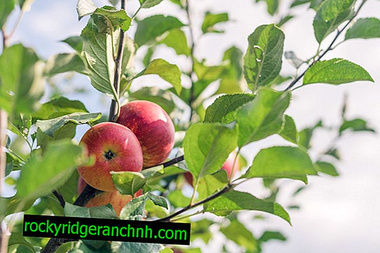 Popis jablka Lobo