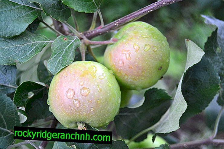 Разновидност на ябълковото дърво Северен Синап
