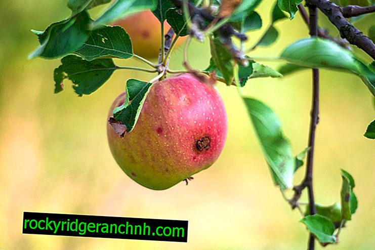 Powody pojawienia się robaków jabłkowych