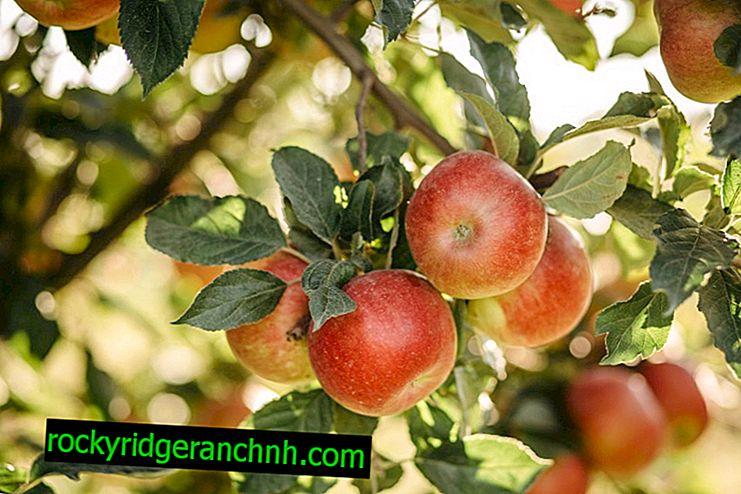 El cultivo del manzano Bashkir belleza