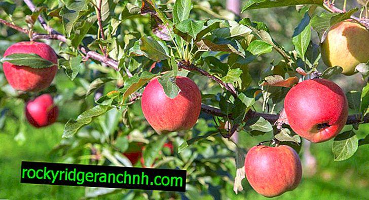 Raznolikost stabala jabuka July Chernenko