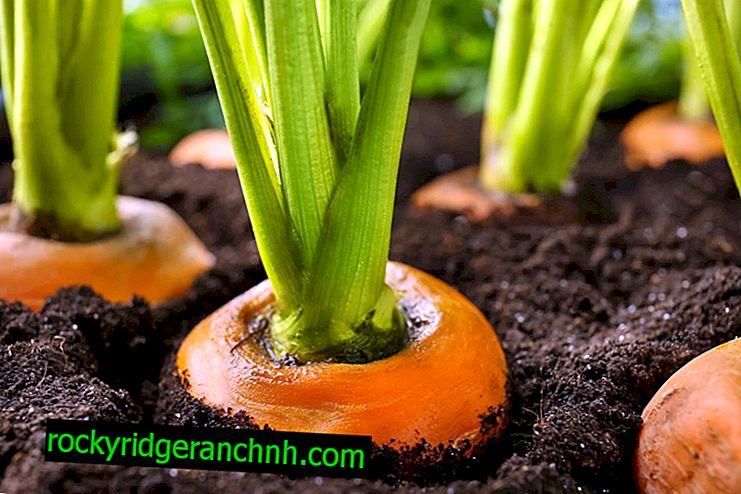 Data van het oogsten van wortels in 2019