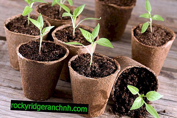 Reglas para plantar pimienta en 2019