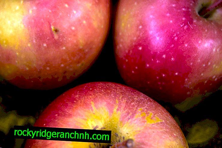Najveća jabuka na svijetu