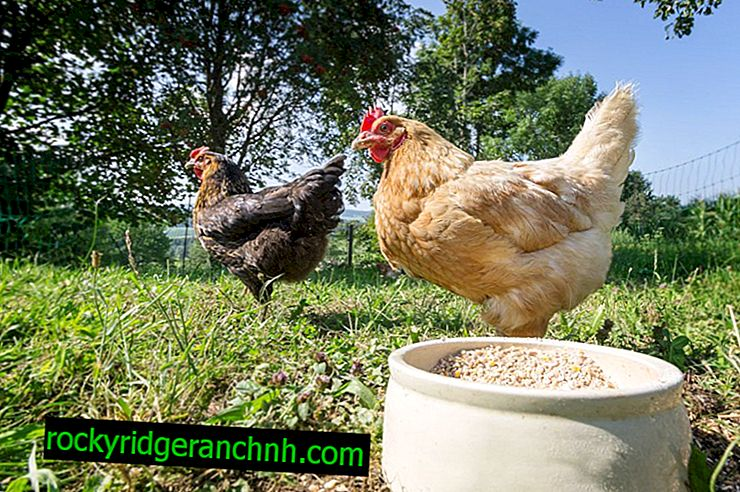 How to make a chicken stirrer for domestic chickens