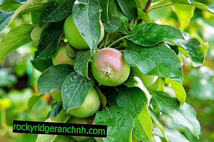 Regler for å plante epletrær i Ural