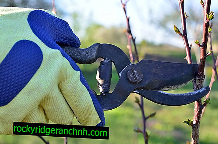 Rules for pruning apple trees in the summer