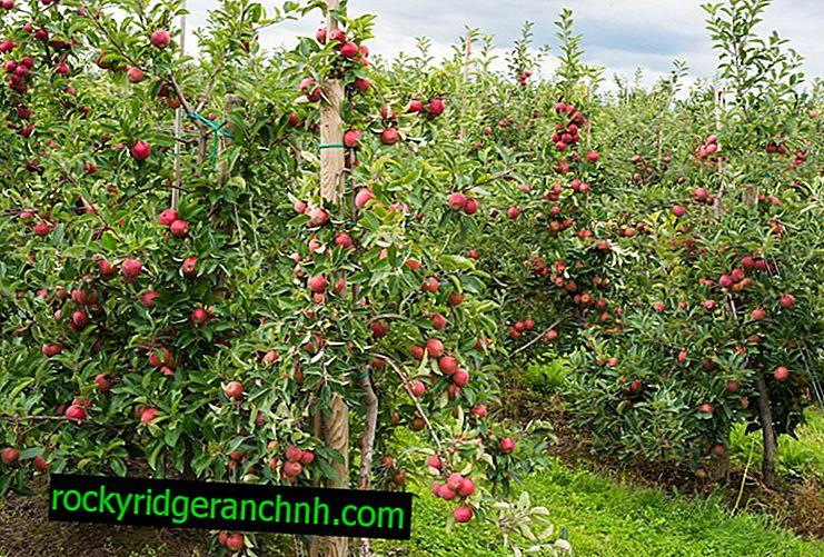 Особливості вирощування яблуні Спартан