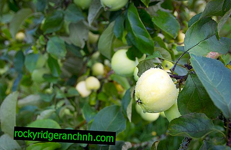 Apple-tree variety Dream
