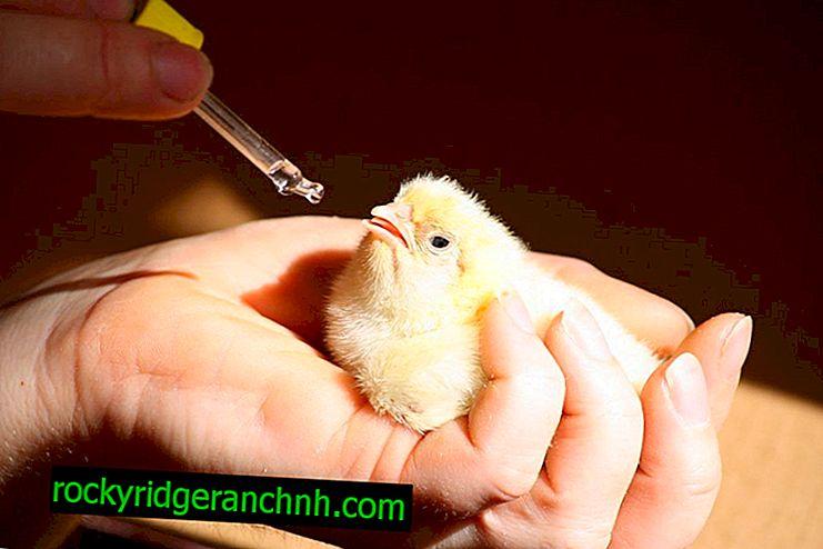 Kateri vitamini so potrebni za rast piščančjih piščancev