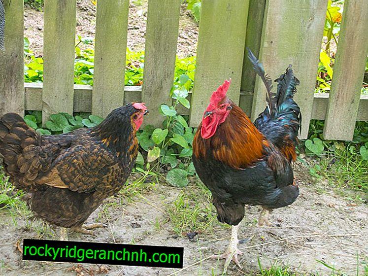 Tavukların cinsi Welsumer