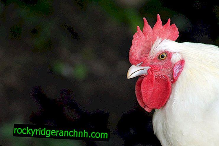 Бресс Гальські кури