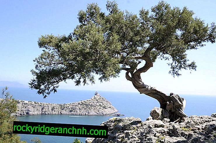 Krimski bor (Pallas) - kako rasti na svojoj web stranici