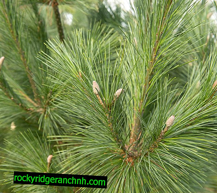Schwerin Pine Vitorhorst - características de cultivo