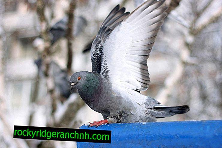 Upotreba Nifulin fortea za ptice