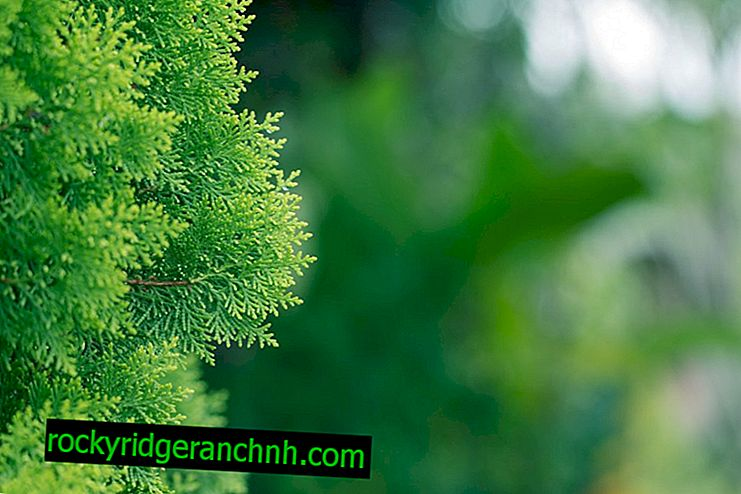 Juniper skalnat Munglow: značilnosti gojenja