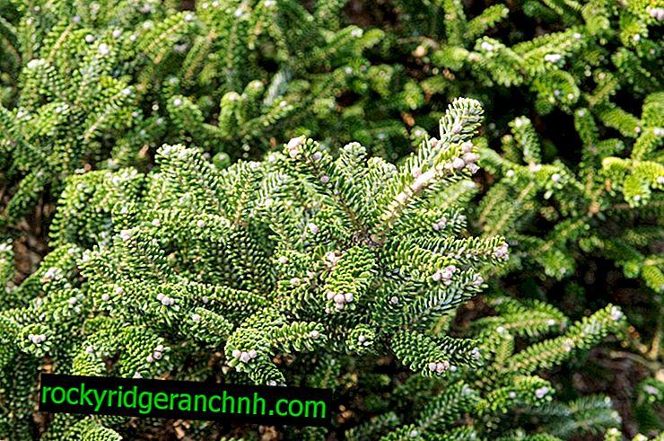 Bálsamo de abeto - um arbusto decorativo de subtrópicos