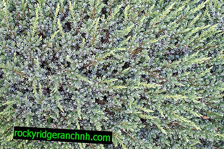 Juniper Blue Carpet: unpretentious shrub with an unusual color of needles