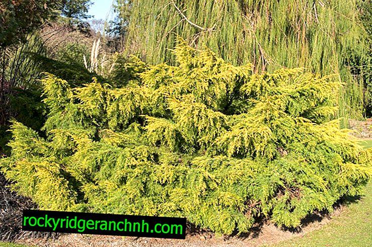 Juniper Old Gold: svijetli grm za vrt