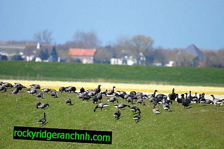 Description of black goose