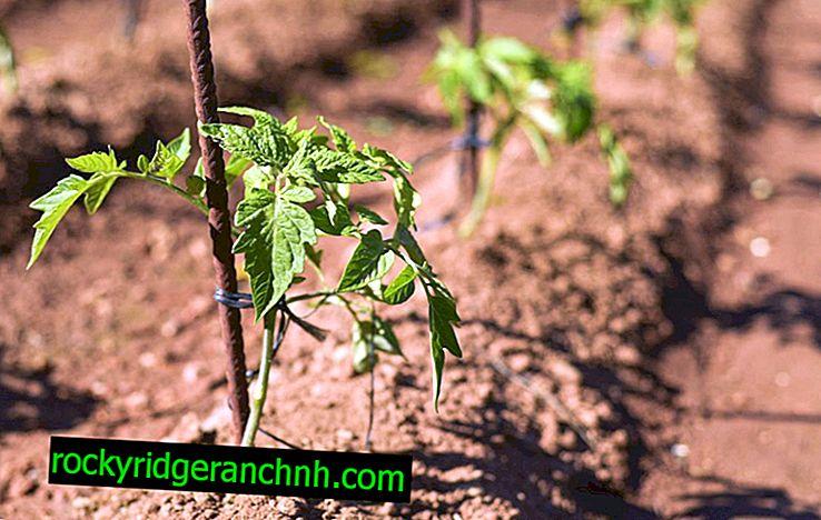 Prednosti nitroammophosa za paradižnike