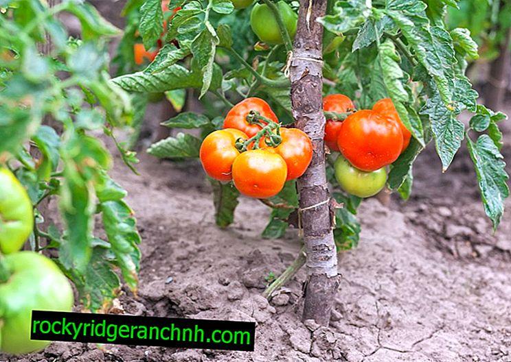 Běžné problémy s rajčaty
