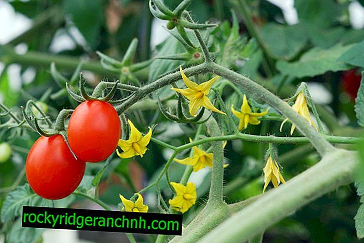 Regras para o processamento de tomates em campo aberto