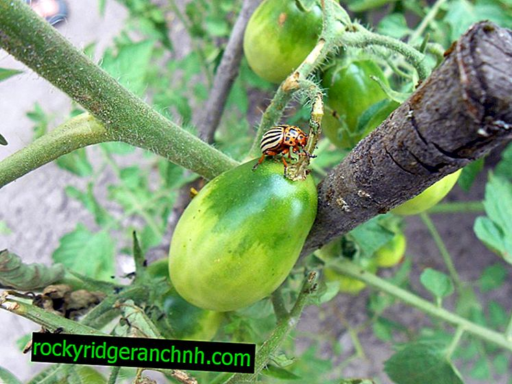 How to deal with Colorado potato beetle on tomatoes