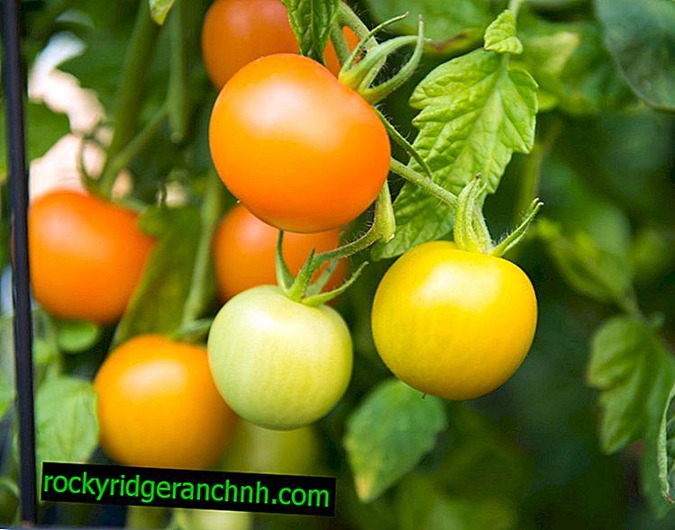 Måder at fremskynde modningen af tomater i et drivhus