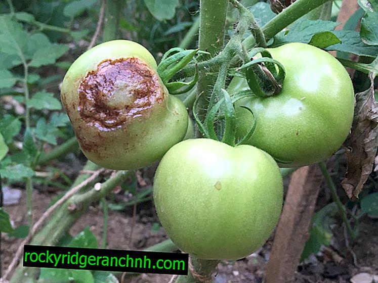 Waarom zwarte tomaten op de struik