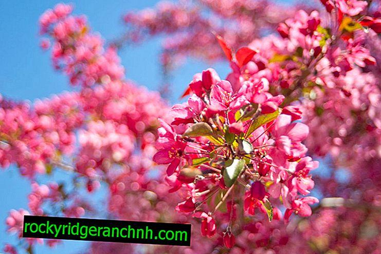 Beskrivning av Beauty Royal apple tree