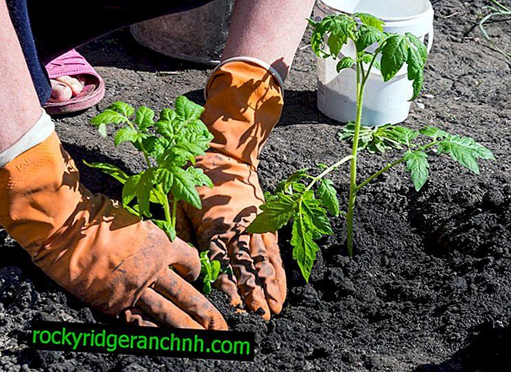 Regels voor het planten van tomatenzaailingen in volle grond