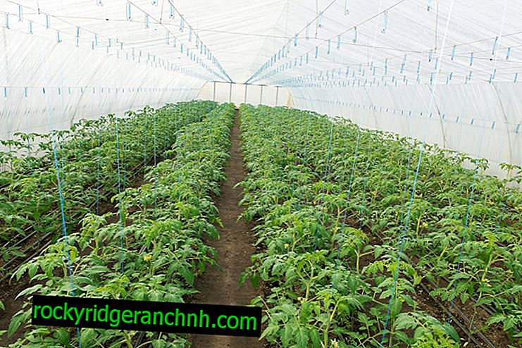 The principle of planting tomatoes in a greenhouse