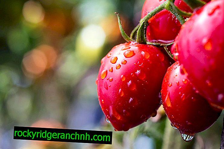 Tomatsort Pink Dream f1